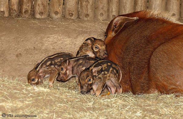 RED RIVER HOG AND PIGLETS