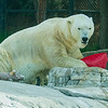 FEMALE POLAR BEAR -  CHINOOK