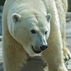 FEMALE POLAR BEAR- CHINOOK.