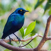 BLUE-EARRED STARLING