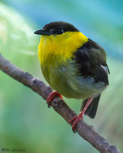 GOLDEN-COLLARED MANAKIN male