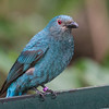 FAIRY BLUEBIRD<br /> female