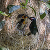 METALLIC STARLING NEST, ADULT WITH 3 CHICKS.