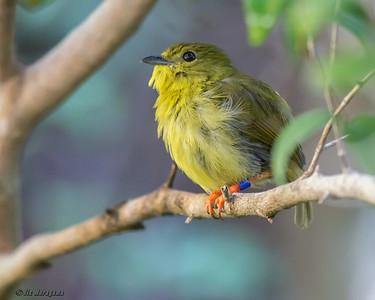 GOLDEN-COLLARED MANAKIN female