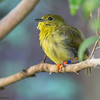 GOLDEN-COLLARED MANAKIN<br /> female
