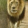 AFRICAN LION, M'BARI