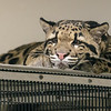 CLOUDED LEOPARD Ganda, an 8 month-old female.