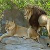 AFRICAN LIONS - ETOSHA AND M'BARI