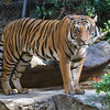 MALAYAN TIGER - CONNER 2 1/2 year-old male born at the zoo to Mek.