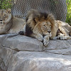 AFRICAN LIONS, ETOSHIA AND M'BARI