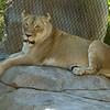 FEMALE AFRICAN LION - ETOSHA