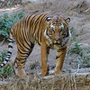 MALAYAN TIGER - CONNER<br /> 2 1/2 year-old male born at the zoo to Mek.