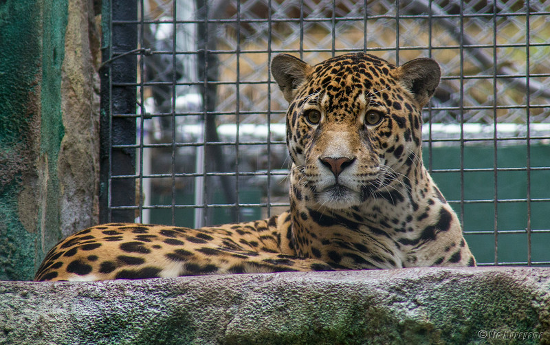 MALE JAGUAR GUAPO
