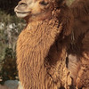 BACTRIAN CAMEL Adult female - Mouse
