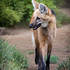 MANED WOLF<br /> Jamie