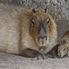 SAN DIEGO ZOO'S MAMMALS : 