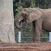 FEMALE AFRICAN ELEPHANT - MILA