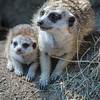 MEERKAT<br /> APPROX 6 WEEK OLD BABY WITH AN ADULT