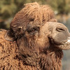 BACTRIAN CAMEL Adult male - Mongo