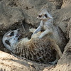 DAD AND BABY MEERKATS AT PLAY