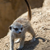 MEERKAT<br /> APPROX 6 WEEK OLD BABY