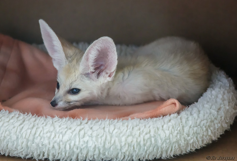 2 MONTH-OLD MALE FENNEC FOX KIT.