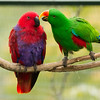 ECLECTUS PARROT PAIR (L)female, (R)male