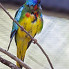 IMMATURE MALE SCARLET-CHESTED PARROT