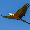 BLUE AND YELLOW MACAW