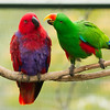 ECLECTUS PARROT PAIR<br /> (L)female, (R)male