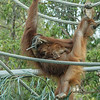 SUMATRAN ORANGUTAN Indah with her baby daughter