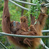 SUMATRAN ORANGUTAN<br /> Indah and daughter Aisha