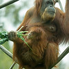 SUMATRAN ORANGUTAN Indah with Aisha who turns 5 months old today.