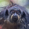 WHITE-FACED SAKI MONKEY<br /> female