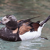 LONG-TAILED DUCK ADULT MALE