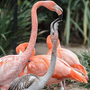 CARIBBEAN FLAMINGO  chick being fed by parent.