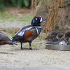 HARLEQUIN DUCK FAMILY