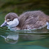 HARLEQUIN DUCK<br /> 3 week-old duckling