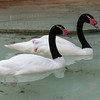 BLACK-NECKED SWANS