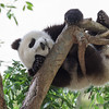 San Diego Zoo's Giant Pandas : 