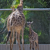 San Diego Zoo's Masai Giraffe Calves : 