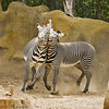 San Diego Zoo's Playful Grevy's Zebras : 