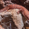 PYGMY SPINY-TAILED SKINK