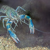 COMMON YABBY