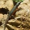 GORONGOSA GIRDLED LIZARD