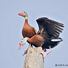 Black-bellied Whistling-Ducks<br /> Elizabeth St, Brownsville