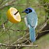 Blue morph Green Jay<br /> Laguna Atascosa NWR