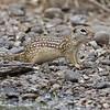 Mexican Ground Squirrel<br /> Laguna Atascosa NWR