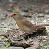 Female Northern Cardinal<br /> Laguna Atascosa NWR
