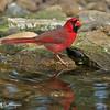 Male Northern Cardinal<br /> Laguna Atascosa NWR